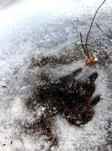 Paw print in ice - photo - Rob Vandermark